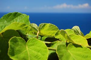 Kiwipflanzen