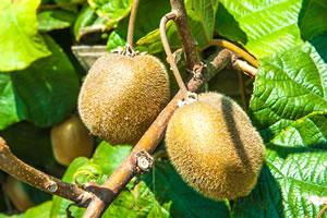 Kiwi-Pflanze