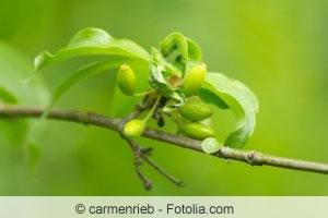 Zweig der Kornelkirsche