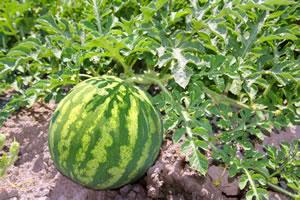 Melonenpflanze kaufen