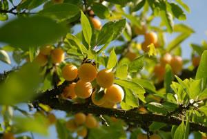 Mirabellenbaum pflanzen