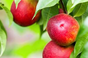 Nektarinenbaum mit Früchten