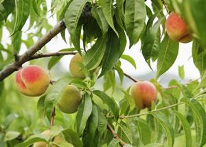Pfirsichbaum