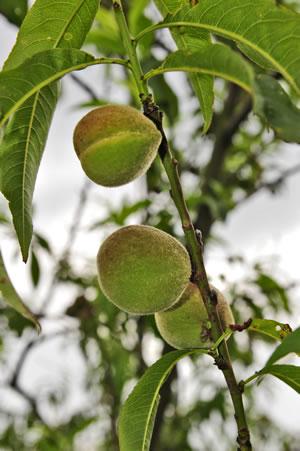 Zweig des Pfirsichbaums