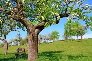 Streuobstwiese Apfelbäume