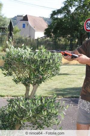 Rückschnitt olivenbaum