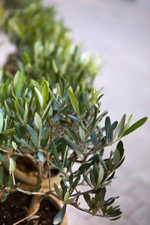 olivenbaum überwintern - anleitung und pflege-fehler, Wohnzimmer