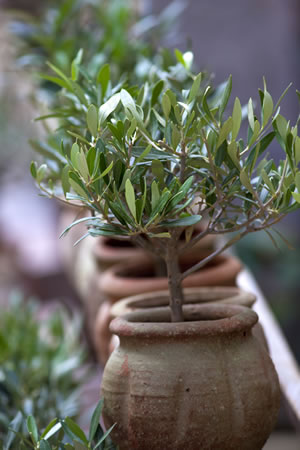 olivenbaum berwintern anleitung und pflege fehler. Black Bedroom Furniture Sets. Home Design Ideas
