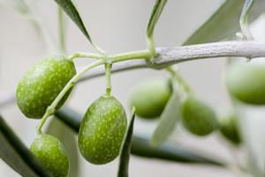 Zweig des Ölbaums mit Oliven