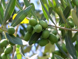 Zweig des Olivenbaums