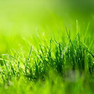 jungen Rasen mähen