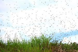 Schwarm von Erdbienen