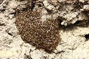 Erdbienen-Nest