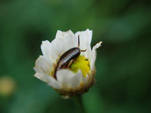Ohrwürmer, Ohrenkneifer Bekämpfen - Tipps Zum Loswerden Fliegen Blumenerde Bekaempfen Tipps
