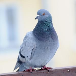 Tauben vertreiben tipps zur taubenabwehr for Whirlpool garten mit tauben abwehren balkon
