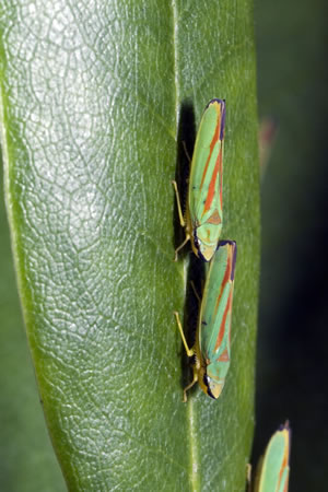Zikaden an Pflanze