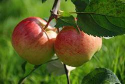 Apfelbaum zurückschneiden