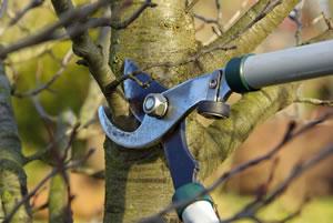 Obstbaumschere richtig ansetzen