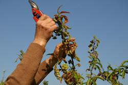 Obstbaum verschneiden