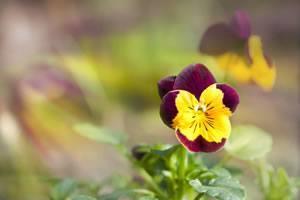 Stiefmütterchen - Pflanzen Und Pflege Garten Stiefmuetterchen Ratgeber Pflanzen