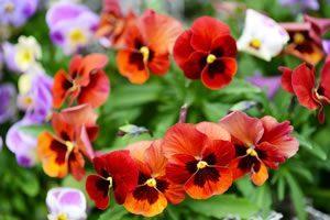 Balkonpflanzen Für Sonnige Und Schattige Standorte Balkonblumen Sonnige Standorte Gestaltungsbeispiele