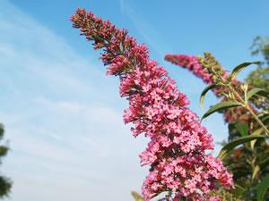 Blüte des Sommerflieders