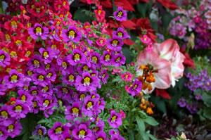Bauernorchidee im Beet