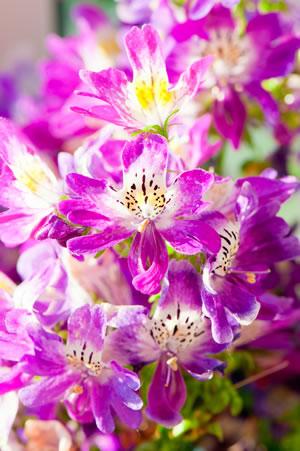 rosa Spaltblume