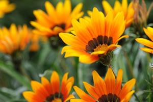Gazanie, Gazania, Mittagsgold - Pflege Und Überwintern Sommer Blumen Pflanzen Pflege