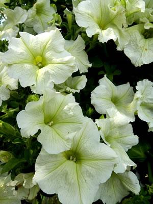 Petunien pflanzen pflege und berwintern for Halbschattige balkonpflanzen