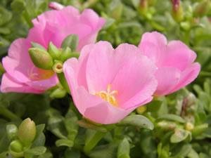 Portulakröschen - Säen, Pflege Und Überwintern Sommer Blumen Pflanzen Pflege