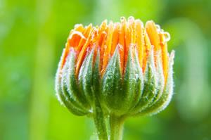 Blüte der Blume