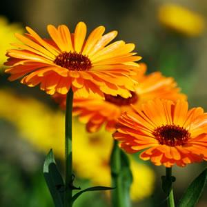 Ringelblume - Aussaat, Pflanzen und Pflege