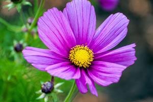 violette Cosmea