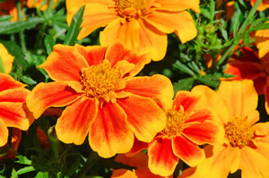 Sommerblume Tagetes