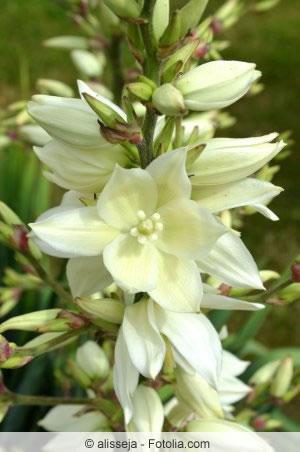 Blüte der Kerzen-Palmlilie
