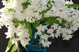 Deutzia in Vase