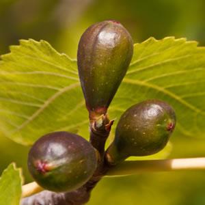 Schädlinge feigenbaum