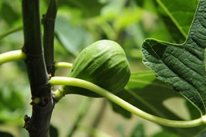 Früchte am Feigenbaum