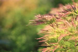 Blätter des japanischen Ahorns