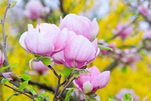 Magnolie - Gehölz im Garten