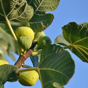 Mandelbaum Blatt und Früchte