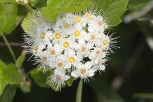 Schneeball Blüte