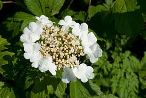Einzelne Blüten von viburnum