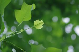 Laubgehölze - Tulpenbaum