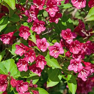 Weigelie pflanzen pflege und schneiden - Gartenpflanzen bestimmen ...