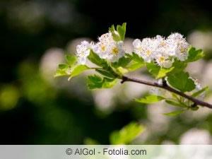 Blüten des Apfeldorns