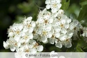 Blüten des Weissdorns