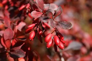Früchte der Berberitze
