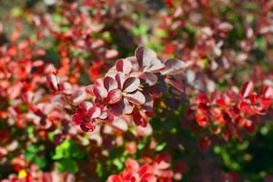 Blätter der Berberitzen-Hecke
